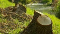 [밀착카메라] 30m 나무, 인도로 '쿵'…무차별 벌목 현장