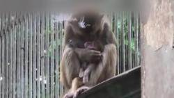 [해외 이모저모] 죽은 새끼 차마 못 놓고…어미 원숭이의 모성애