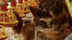 멀쩡한 닭 죽이고…냉동고에 뒀다가 폭염때 보험금 청구