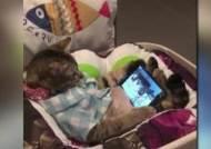 [해외 이모저모] 휴대전화 '새들 영상'에 푹 빠진 고양이