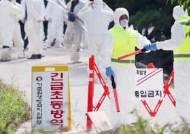 인천 강화 '돼지열병' 연이틀 확진…국내 최대 충남 초비상