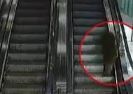 멧돼지는 왜 마트 에스컬레이터 탔나?…경찰, 결국 사살