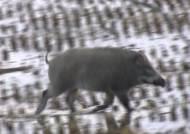 철원서 또 돼지열병 바이러스…'멧돼지 방역' 비상