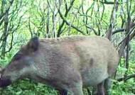 연천·파주·화천 야생 멧돼지서 '돼지열병' 추가 검출