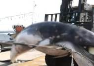 울산서 불법 포획 추정 고래 사체 발견…해경에 인양