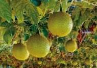 야외서도 아보카도 재배, 아열대 농업 '열공'