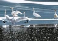 [사진] 금강서 겨울 나는 시베리아 고니