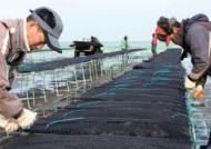 태안 어민 빼닮은 '단련굴' 시련 이기고 홍콩 수출