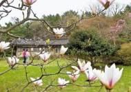 꽃세상 천리포…6월엔 '민병갈 목련' 핀대요