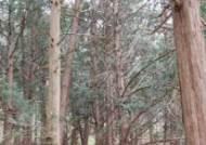 남해안 식물 편백나무, 포항에도 있네요