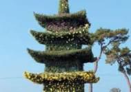[사진] 국화로 만든 정림사지 5층 석탑