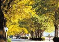 늦가을에만 만날 수 있는 인연, 붉은 노을과 '노란 낙엽비'