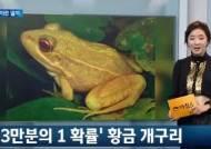 """황금개구리 발견 """"보호색도 없고 자외선에도 약한, 희귀종 황금개구리"""""""