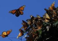 [사진] 멕시코로 날아온 제왕나비떼