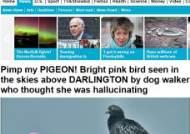 분홍색 비둘기 포착, 염색된 비둘기 주인에게 돌아가지 못해…