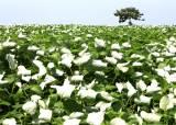 [농·마·드: 농부 마음 드림] ③ '먹는 모시' 떡보네 모시잎송편