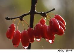 [농·마·드: 농부 마음 드림] ⑫ 지리산 정기품은 산수유 '지리산과 하나되기'