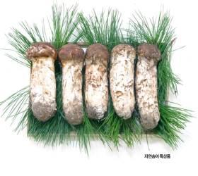 [<!HS>농<!HE>·마·드: <!HS>농부<!HE> <!HS>마음<!HE> <!HS>드림<!HE>] (17) 버섯의 제왕 '송이'