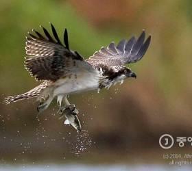 <!HS>안성식<!HE> <!HS>기자의<!HE> <!HS>새<!HE> <!HS>이야기<!HE> ⑧ 물수리