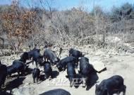 제주흑돼지 천연기념물 지정, 육지돼지와 차별화된 고유혈통에 주목