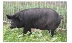 제주 흑돼지 천연기념물 지정… 현재 사육중인 순수혈통은?