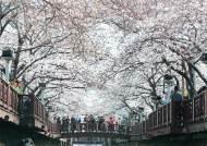 [국내여행] 봄바람 휘날리며 흩날리는 벚꽃 잎은 '진해가 최고'