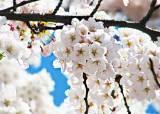 [핫 클립] 봄소풍 떠나요, 벚꽃길 베스트 6