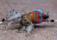 """신종 공작거미 발견…""""세상에서 가장 예쁜 무늬를 가진 거미 등장"""" 어디서?"""
