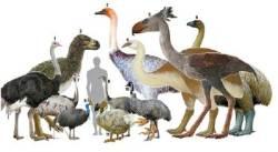 코끼리새·타조·에뮤·모아…날지 못하는 새들 공통 조상 있었다