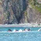혹등고래 10여 마리 … 청어 집단사냥 장관