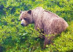 도도한 야생 곰·여우, 웅장한 맥킨리봉 … 말이 필요없네