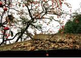[우리농식품사랑캠페인] 숙취해소엔 가을 단감