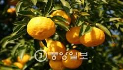 [우리농식품사랑캠페인] 비타민 C가 레몬의 3배… 맛 좋고 향 좋은 유자