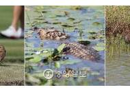 [리우포토] 골프경기 구경하는 동물들