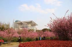 [도선미의 취향저격 상하이]<20>벚꽃 만발한 3·4월에 떠나요 상하이로~