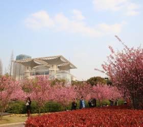 [도선미의 취향저격 상하이]  벚꽃 만발한 3·4월에 떠나요 상하이로~