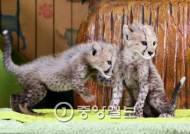 가장 빠른 포유류 치타 멸종 위기