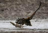 [서소문사진관] 여우와 드론 잡는 검독수리…맹금류의 지존인 이유
