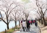 경주 벚꽃, 영덕 대게, 청도 소싸움 … 경북의 봄, 지역 축제로 무르익는다