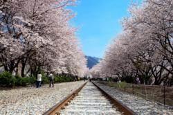 [THIS WEEK] 내일부터 진해군항제 … 여좌천·경화역 벚꽃 장관