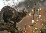 그윽한 매화 향기 물씬…고양이도 꽃놀이 하네요