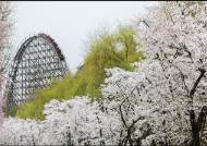 [THIS WEEK] 벚꽃 끝물? 아직 끝나지 않은 벚꽃 '엔딩'