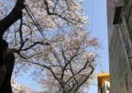 제주 토종 왕벚나무로 가로수 바꾼다, 보급기지 확대키로