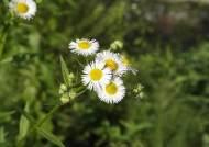 북미산 개망초, 유럽산 애기수영 … 10년 넘은 귀화식물 250종