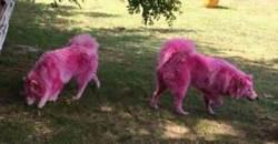 소품으로 쓰이다 숲속에 버려진 '분홍색' 강아지들