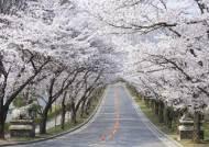 이번주말 에버랜드에 벚꽃 만개