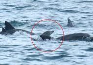3년 전 제주 바다로 돌아간 돌고래 '복순이' 새끼 낳았다