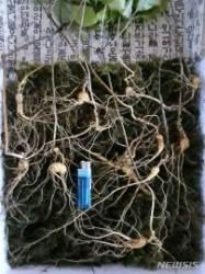 벌초하던 40대, '천종산삼' 12뿌리 발견…1억원 어치