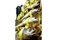 추석 앞두고 가격 폭등한 참조기 …치어 남획이 문제