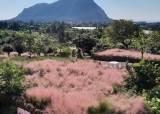 이제 가을은 핑크의 계절…이번주 가볼만한 핑크뮬리 명소는